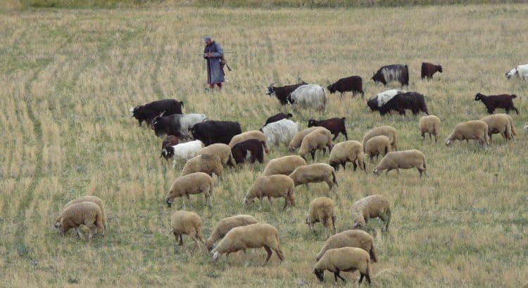 Sheep, goats, & shepherd